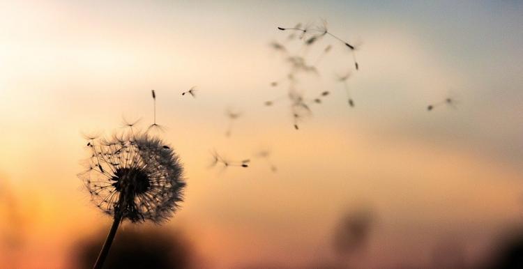dandelion flower in the breeze